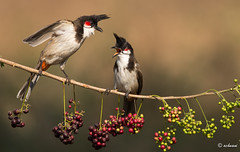 It is not my fault (achuaniaku) Tags: india birds berry aves bulbul redwhiskeredbulbul d610 300mmf4 bengaluru
