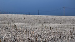 Contraste  -  Contrast (Philippe Haumesser Photographies) Tags: panorama france contrast landscape outside landscapes reflex vineyard nikon alsace contraste vignes vignoble paysages elsass panoramique 2016 d7000 nikond7000