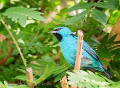 Turquoise Honeycreeper (kaw209) Tags: bird fl etsy butterflyworld bluedacnis cnpa turquoisehoneycreeper coconutcreekfl gx7 kwinkelerphotos panasonicgx7