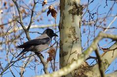 Hooded crow (Morze.Stefano) Tags: crow corvo hooded corvus cornacchia grigia cornix