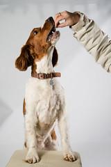 welsh-14 (Action Petz!) Tags: park uk dog dogs wales puppies south cardiff canine bark spaniel springer dogpark dogphotography welshspringer doggydaycare dogfun welshspaniel actionpetz