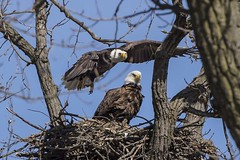 BALD EAGLES NESTING ON LEVEE RD., BROOKVILLE IN. (nsxbirder) Tags: baldeagle indiana haliaeetusleucocephalus brookville whitewaterriver franklincounty leveeroad