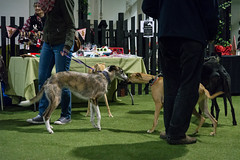 Sighthound party-5 (Action Petz!) Tags: park charity uk party dog greyhound dogs wales puppies south cardiff canine whippet bark dogpark sighthound saluki dogphotography lurcher doggydaycare dogfun actionpetz