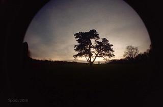 YSP tree