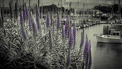 Flowers by the boat (Rohit KC Photography) Tags: ocean flowers blackandwhite flower leaves clouds canon monterey purple cloudy vibrant edited rainy reflectiion fishermanswarf canon24105mmf4l canon5dmarkii