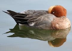 Sleeping Wigeon Reflected (GrahamParryWildlife) Tags: sleeping reflection bird sussex duck peaceful rye reflected reflect wigeon kentwildlife grahamparrywildlife sigmasport150600