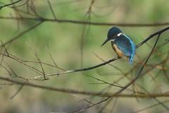 _HNS8181 IJsvogel : Martin-pecheur d'Europe : Alcedo atthis : Eisvogel : River Kingfisher