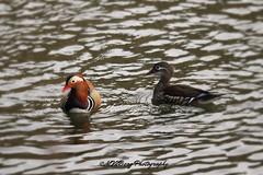 """Mandarin duck - """"Aix galericulata"""" (murielvdb) Tags: brussels belgium bruxelles mandarinduck aixgalericulata canardmandarin"""