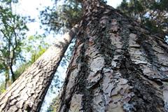 Ponderosa Pine, Crater Lake National Park, Oregon (nikname) Tags: cascades craterlake craterlakenationalpark cascademountainrange usanationalparks highcascades westerncascades craterlakenationalparkoregon oregonstateforests stateparkstreesusanationalforests