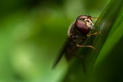 Episyrphus balteatus (markhortonphotography) Tags: macro insect surrey heath marmalade hoverfly deepcut surreyheath episyrphus balteatus episyrphusbalteatus marmaladehoverfly markhortonphotography thatmacroguy