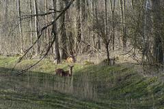 20160327-edelherten Kotterbos-3 (Edwin Pijpers) Tags: red deer almere oost edel oostvaardersplassen edelhert kotterbos