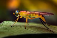 Mosca Soldado (Javier Chiavone) Tags: macro argentina sansebastian mosca soldado misiones andresito stratiomyidae sarginae