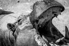 Spain - Malaga - Estepona - Hippo (Marcial Bernabeu) Tags: espaa andaluca spain andalucia hippo hippopotamus andalusia malaga estepona mlaga hipopotamo hippopotamusamphibius hipoptamo