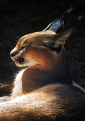 Caracal (Salticinats) Tags: animals zoo caracal