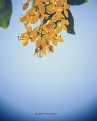 หน้าร้อนได้เริ่มต้นขึ้นแล้ว Beginning of summer #ต้นไม้ของในหลวง #ดอกราชพฤกษ์ #ดอกไม้ประจำชาติไทย #flower #GoldenShower #flowerofking #bangkok #thailand #bangkokphotography