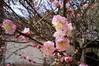 DSC02423 (Josie L.) Tags: flower 花 miaoli 苗栗 plumflower 梅花 苑裡