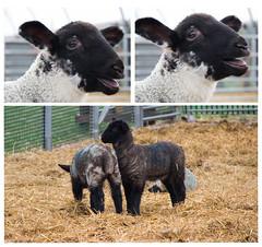 82 Illustrate a Nursery Rhyme (SamKirk9) Tags: sheep lambs nurseryrhyme baabaablacksheep newbornlambs 116picturesin2016 82illustrateanurseryrhyme