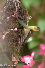 Souiamanga asiatique (Philippe Lcuyer) Tags: pakistan bird nid female nest oiseau nesting islamabad purplesunbird cinnyrisasiaticus nectariniidae