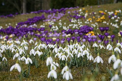 2016-03-28 Vrblommor 013 (HAKANU) Tags: flowers blue white field yellow garden countryside early spring colours blossom sweden lawn crocus smland snowdrops summerhouse springtime