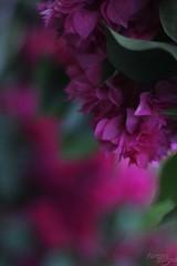 Pink whisper ( Vanvan ) Tags: pink planta nature natureza flor rosa corderosa