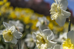 Holland - Narcissus Daffodil 2016-3 (robdeheer) Tags: flowers sun holland canon spring nederland thenetherlands explore daffodil paysbas zon bloemen narcis niederlande tegenlicht narcissen voorjaar bulbfields frhjahr hollanda frhlingszeit narcissusdaffodil updatecollection canon7dnoordholland