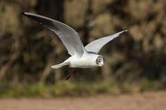 Kokmeeuw (judithvanagthoven) Tags: birds nederland vogels natuur dieren meeuwen kokmeeuw canon700d sigma150500mm