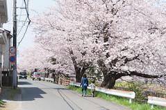 Along the river (Wunkai) Tags: japan 桜 cherryblossom sakura さくら 茨城 土浦 ibarakiken 新川 tsuchiurashi