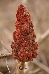 red plant (Rasilony) Tags: red plant france les plante rouge lorraine vosges