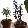 Jade plants (heatherdawnplants) Tags: plants jadeplant succulents crassula houseplants ovata