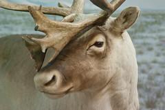 Caribou (dalenewsted) Tags: caribou northamerican milwaukeepublicmuseum rangifertarandus
