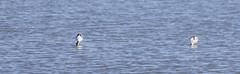 Avocet (15) (Mal.Durbin Photography) Tags: nature birds newport naturereserve newportwetlands maldurbin goldcliffnewport