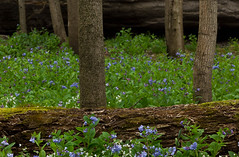 Virginia Bluebells in Illinois Canyon (kevinmoore57) Tags: rock bluebells canon virginia illinois spring canyon starved 60d