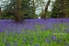 Blue carpet (tommyajohansson) Tags: flowers kewgardens flower london primavera fleur kew fleurs geotagged spring blumen blomma blume blommor printemps botanicgardens royalbotanicgardens frhling vr faved botanisktrdgrd tommyajohansson