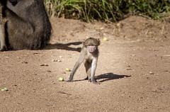 Even baboons can be cute... (Sheldrickfalls) Tags: southafrica baboon krugernationalpark mpumalanga krugerpark kruger marula chacmababoon