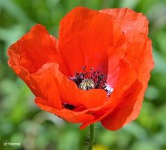 Poppy (lefotodiannae) Tags: macro colore poppy fiore rosso papavero lefotodiannae
