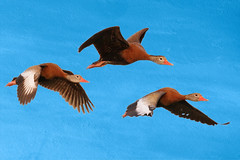 Black-bellied Whistling Ducks in Flight-9565 (Don Burkett) Tags: nature birds animal fauna canon florida outdoor wildlife birdsinflight southflorida dlsr wakodahatcheewetlands blackbellywhistlingduck donburkett 100400mii ef100400f4556liiusm dtburkett