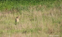 Lurking in the grass (Photosuze) Tags: nature field grass animals wildlife felines mammals lurking predators bobcats