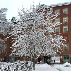 White Tree (hansn (2 Million Views)) Tags: winter snow tree gteborg square vinter sweden gothenburg sverige sn trd goteborg sahlgrenska squarish bildstrom