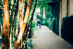Bamboo Hallway (Kirk Martyn) Tags: flowers original plants plant macro nature up photography 50mm spring pretty close bright exploring bamboo walkway brightcolors longwoodgardens shrubs naturephotography adventuring macrophotography closeupphotography prettyflowers canon50mm niftyfifty flowerphotography kennetsquare canon6d orchidextravaganza