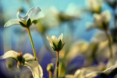 """Saxifrage"" (helmet13) Tags: sunlight flower spring flora raw blossom bokeh selectivefocus aoi 100faves peaceaward saxifragaarendsii heartaward world100f d800e"