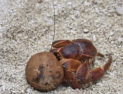 Hermit crab and coconut shell (D70) Tags: mystery island coconut shell crab hermit vanuatu 103366