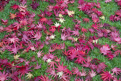 Fallen ....yet still beautiful (Four Seasons Garden) Tags: uk autumn england colour english grass leaves yellow garden four japanese maple seasons award foliage national acer fallen deciduous winning walsall palmatum trompenburg 2015 acers sangokaku senkaki
