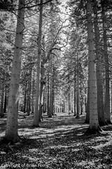 IMGP1109 (acornuser) Tags: park trees blackandwhite bw reflection water woodland garden landscape waterfall spring surrey cascade virginiawater blosom sigma1770 pentaxk3