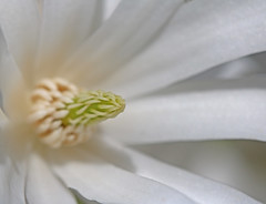 magnolia stellata (spencerrushton) Tags: wood flowers sun white plant flower colour macro nature fleur beautiful canon outdoors daylight petals walk flor 100mm spencer dslr blume stigma wisley rhswisley manfrotto dayout rhs anther flori macroplant rushton macroflower canonl canonlens manfrottotripod canon100mmf28lmacroisusm spencerrushton 760d canon760d efcanon100mmf28lmacroisusm dffwisley