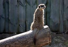 Veszprm Zoo (szendimoks) Tags: zoo meerkat veszprm szurikta