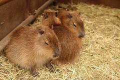 (CapybaraJP) Tags: capybara