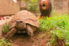 Scappa !!! Il leone!!! (al3ss10) Tags: color colour green garden colore turtle fear lion runaway colori leone tartaruga giardino aiuola scappare ruggito