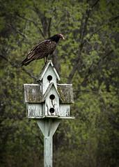 (Rodney Harvey) Tags: house turkey martin birdhouse vulture scavenger