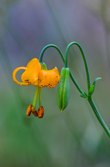 Columbia Lily (ajblake05) Tags: plants canada britishcolumbia northamerica coquitlam liliaceae lowermainland greatervancouver liliumcolumbianum minnekhadaregionalpark columbialily