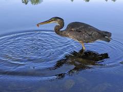 A Great Blue Heron (visualgrover) Tags: canada bird animal outdoor coquitlam comolake bristishcolumbia aquaticbird agreatblueheron nexus6p
